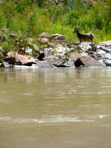 Big horn sheep on the river