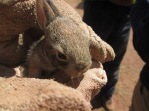 Bunny saved from the woodpile while doing service in New Mexico
